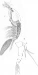 Timm 1894 Monstilla helgolandica