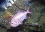 Roughy on deep rocky habitat - Gulf of Mexico