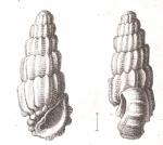 Rissoina obeliscus Schwartz von Mohrenstern, 1860