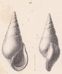Rissoina megastoma Schwartz von Mohrenstern, 1860