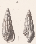 Rissoina lamellosa (Desmoulins, 1836)