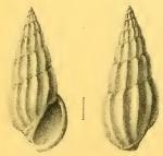 Rissoina sismondiana Issel, 1869
