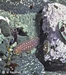 Hermothoe sp. & Nacella concinna