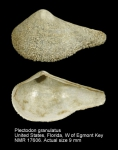 Plectodon granulatus