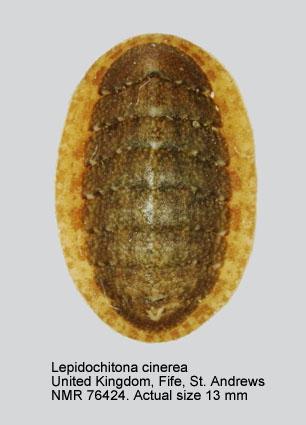 Lepidochitona (Lepidochitona) cinerea