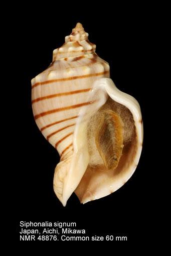 Siphonalia signum