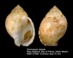 Semicassis labiata