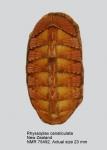 Chiton (Rhyssoplax) canaliculatus