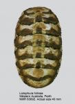 Liolophura hirtosa