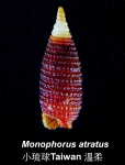Monophorus atratus