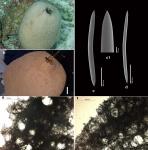 Neopetrosia ovata