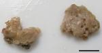Rhaphidophlus basiarenaceus
