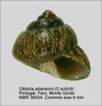 Gibbula adansonii