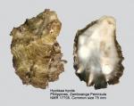 Hyotissa hyotis