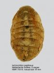 Ischnochiton (Ischnochiton) papillosus