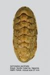 Ischnoplax pectinata