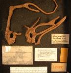 Gellius varius fibrosa co-type