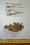 Desmacidon plicatum
