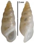 Takirissoina crocata Faber, 2013