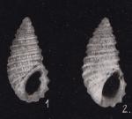 Stosicia bandensis (Kókay, 1966)