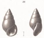 Rissoina sloaniana d'Orbigny, 1842