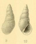 Rissoina zeltneri var. paumotuensis Couturier, 1907