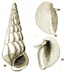 Stiva ferruginea Hedley, 1904