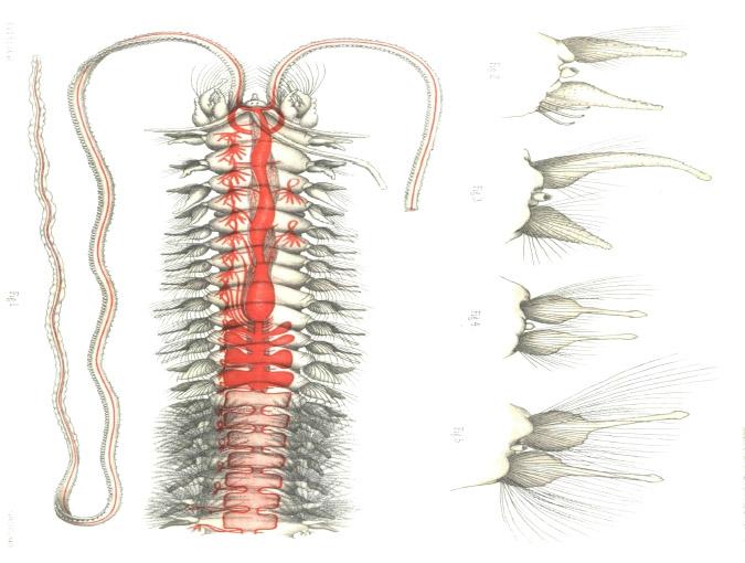 Original plate of Poecilochaetus serpens Allen, 1904