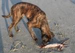 aangespoelde grote pijlinktvis met hond