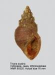Thiara scabra