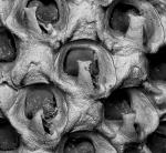 Amphiblestrum lyrulatum, West Mediterranean