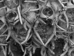Barrosia balearica, holotype MNCN-25.03/3808