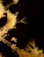 Bowerbankia citrina, NW Iberian Peninsula