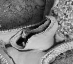 Copidozoum balgimae, Holotype: MNHN 20208