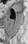 Crepis longipes, MB 37-000033
