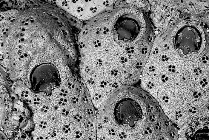 Cribellopora simplex, Holotype: MNHN 10382