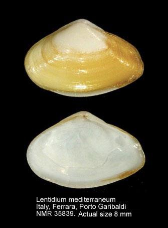 Lentidium mediterraneum
