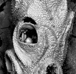 Euginoma vermiformis, lectotype