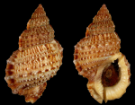 Bursa granularis granularis (Röding, P.F., 1798)