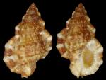 Bursa granularis cubaniana (Orbigny, A.V.M.D. d', 1847)