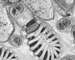 Hincksina calpensis, Strait of Gibraltar, Holotype: MNHN IB-2009-1520