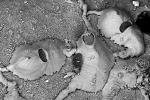 Bryozoa (moss animals)