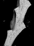 Jubella enucleata, NE Atlantic, lectotype