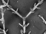 Mourellina decussata, Lectotype: ZMA V.Bry. 1811
