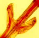 Mourellina decussata, paralectotype