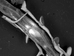 Mourellina gonzaloi, Holotype: ZMA V.Br. 875/5