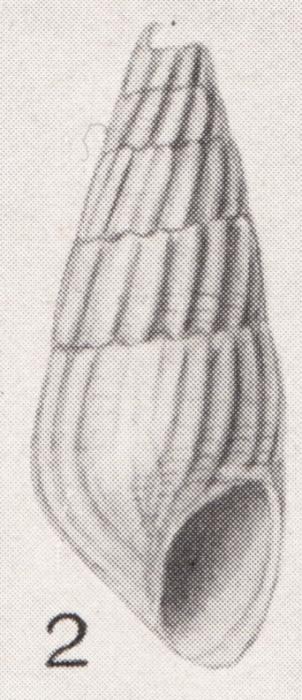 Rissoina bryerea var. binominis Pilsbry, 1922
