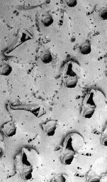 Schizotheca tuberigera, Holotype: MNHN 3758