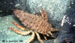Glyptonotus antarcticus