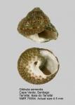Gibbula sementis